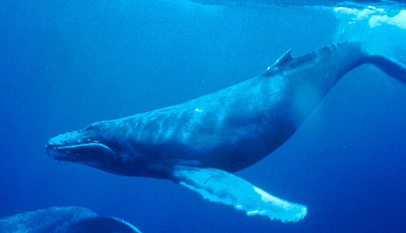 Hunter the Humpback Whale photo by: NOAA Dr. Louis M. Herman