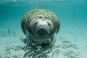 Manatee underwater with algae photo courtesy VisualHunt.com