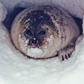 ringed seals live in ice dens with their pups