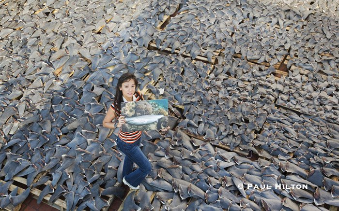 dried shark fins photo by Paul Hilton