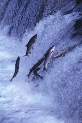 salmon upstream