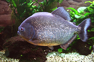 picture red-bellied piranha