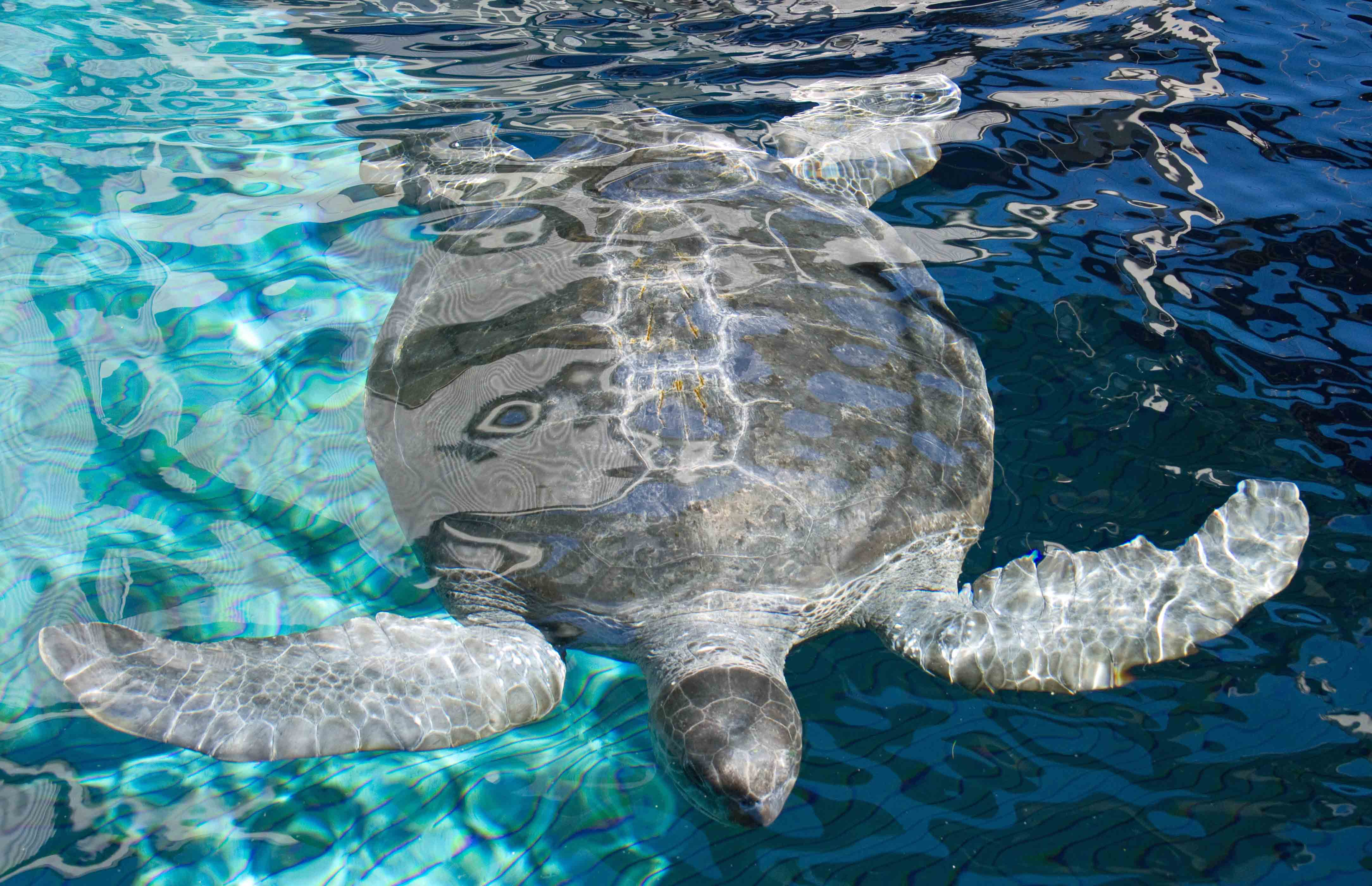 green sea turtle Monterey Bay Aquarium