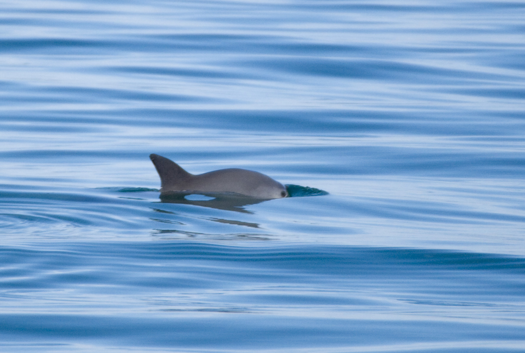 Vaquita Porpoise Gulf of California