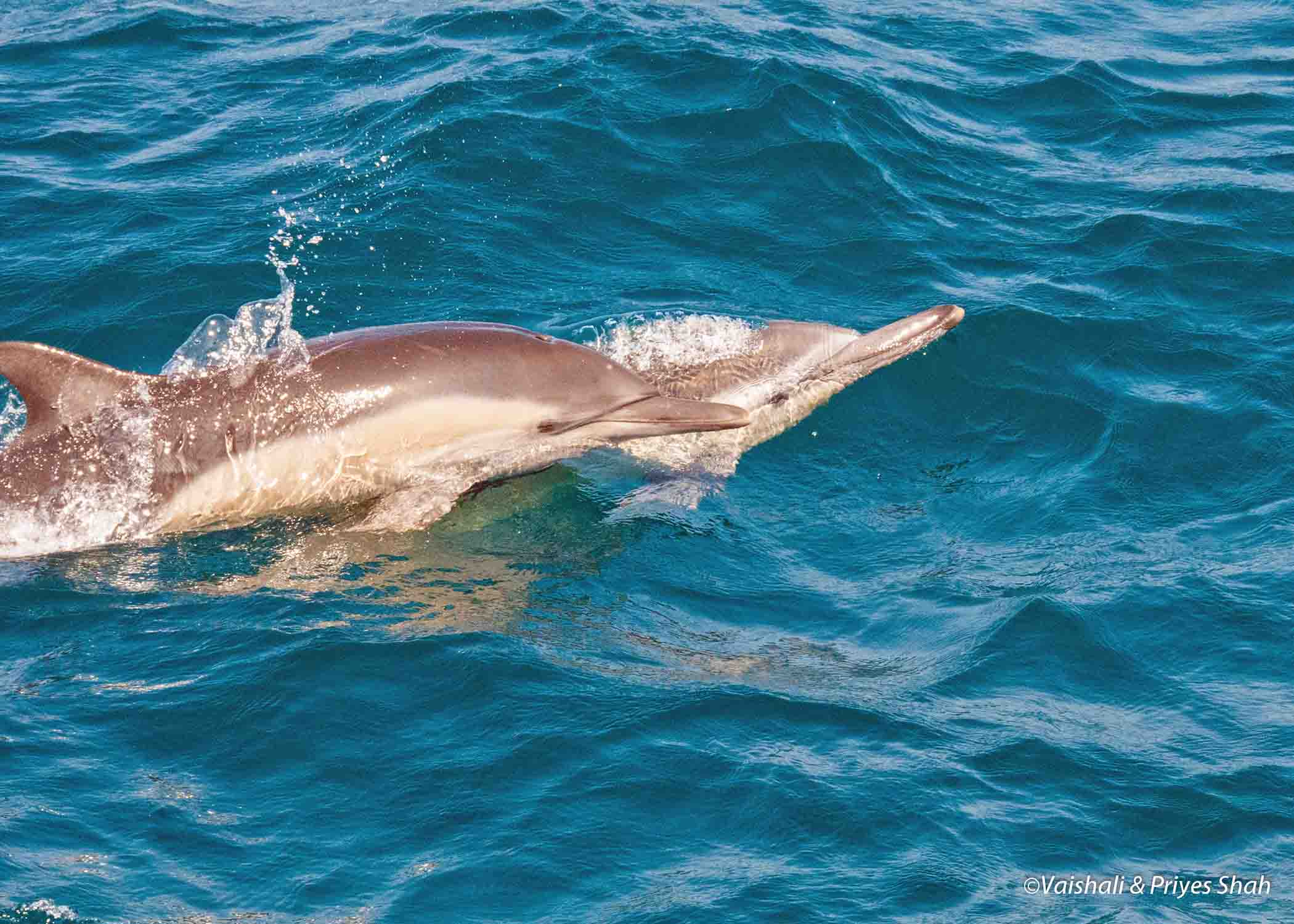 Common dolphins seen while whale watching