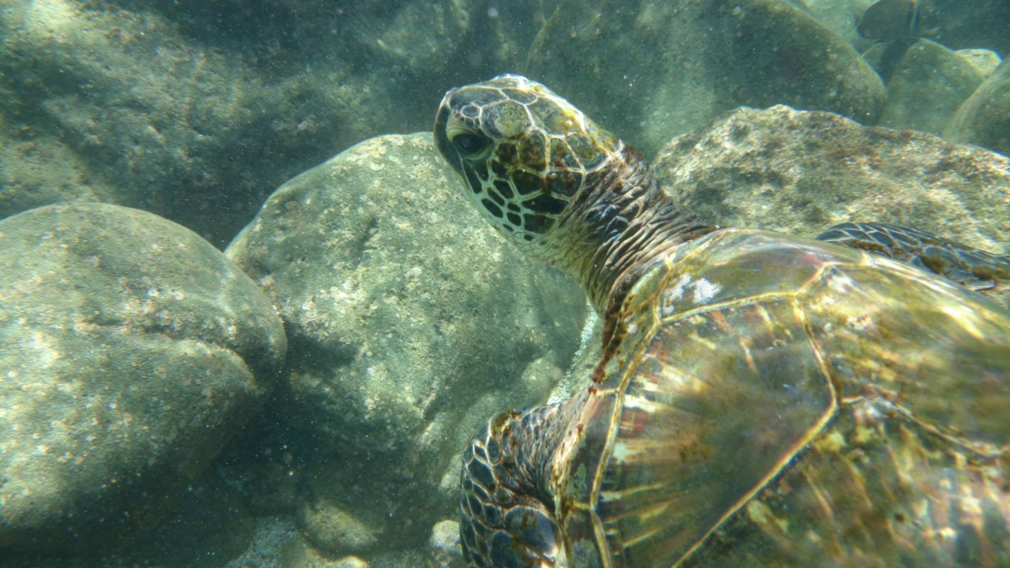 Green Sea Turtle Honu