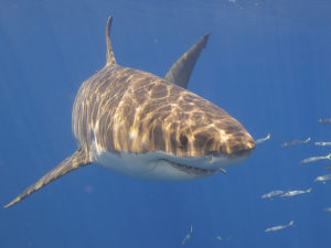 Great White Shark: Photo credit: Elias Levy via Visualhunt / CC BY
