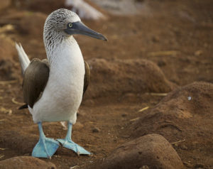 "Blue Footed Booby:Photo credit: <a href=""https://www.flickr.com/photos/brj_bringin_the_shit_up_in_here_bitches/7303186922/"">BRJ INC.</a> via <a href=""https://visualhunt.com/re/569bd2"">Visual Hunt</a> / <a href=""http://creativecommons.org/licenses/by-nc-nd/2.0/""> CC BY-NC-ND</a>"