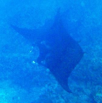 Moby the Manta Ray & his Shark cousins