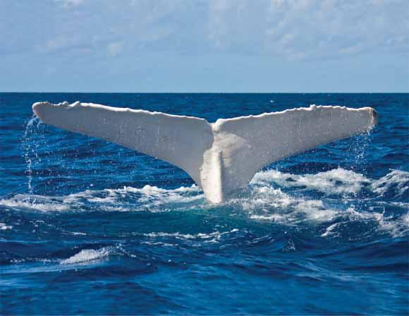 the'albino' humpback whale of eastern Australia