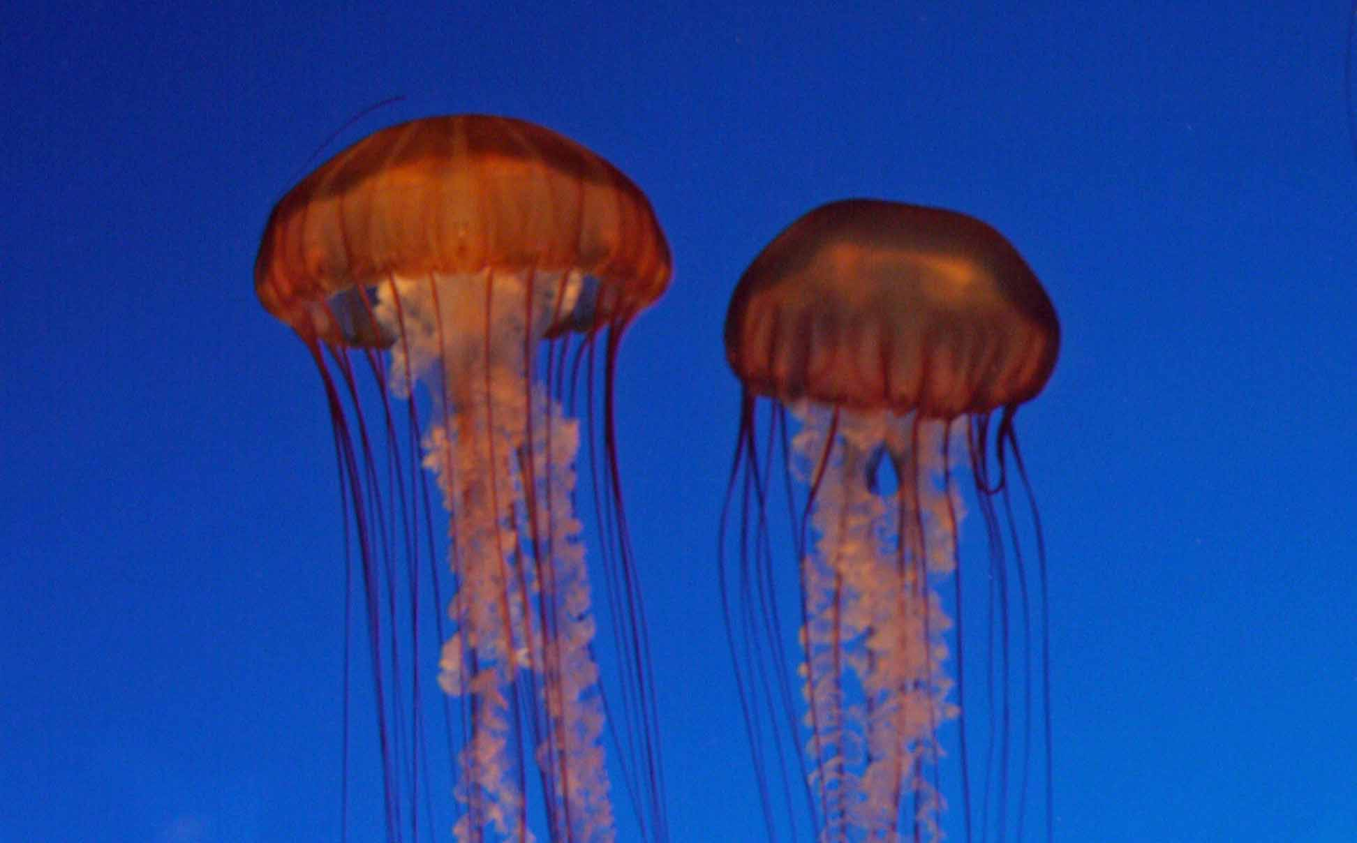 jellyfish may become the cockroaches of the sea due to pollution