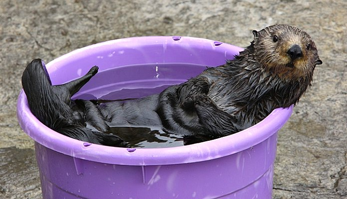Mae, southern sea otter mother