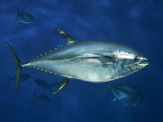 fishing for bluefin tuna might cause their extinction