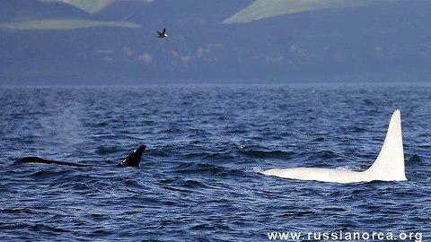 all white killer whale