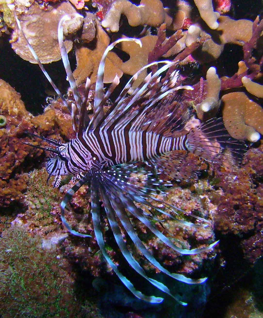 lionfish: introduced species gone awry