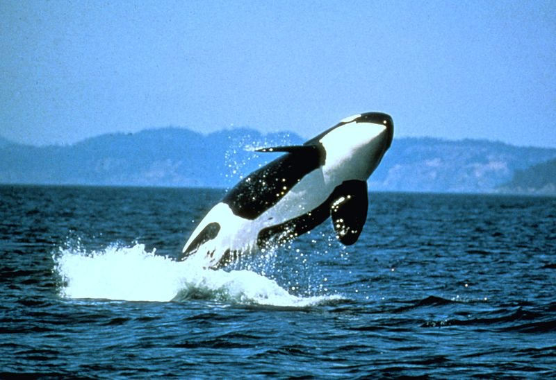 10 Interesting Facts About Killer Whales Or Orcas Ocean